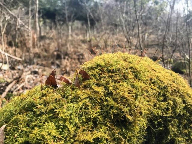 霊山 霊山寺ルート 苔の発芽