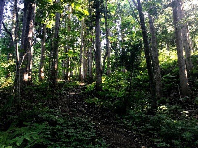 三ノ峰~別山 上小池ルート ブナ林